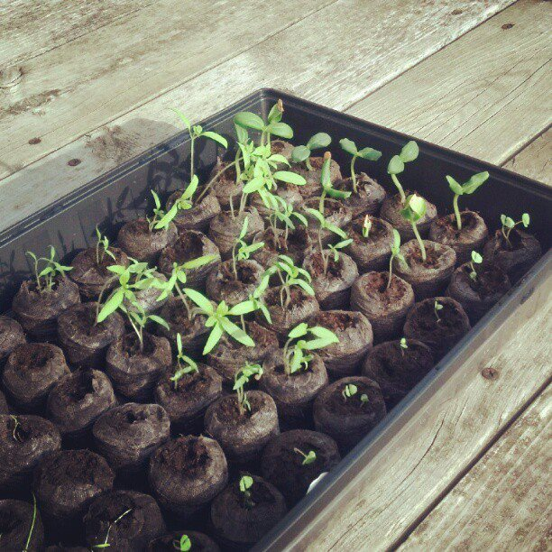 little seedlings